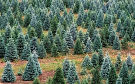 what type of christmas tree lasts the longest trees get the most out of your tree after