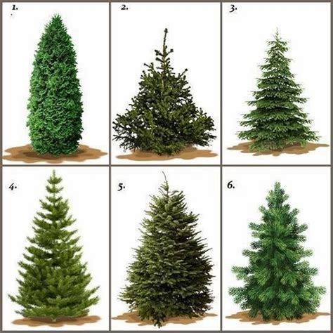best christmas tree species real trees how to choose the tree for the