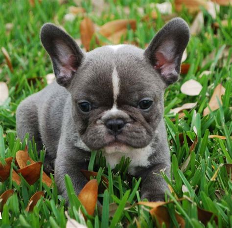 frenchie puppy blue bulldog breeders and clubs