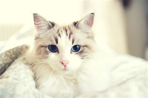 breeds of grey and white cat cats venture