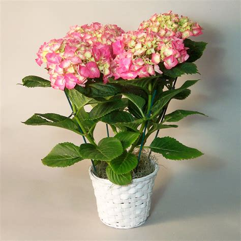hydrangea plant jpg hydrangea