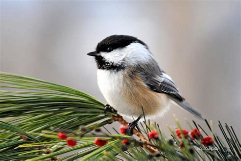 pine chickadee by christina rollo royalty free and