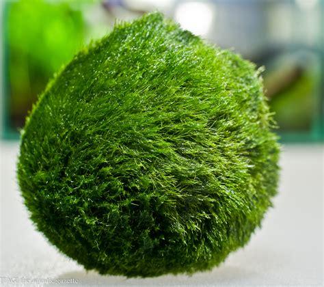 Marimo Ball   [T A G]