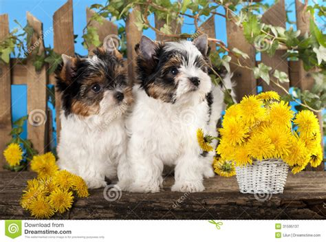puppies and flowers puppies and flowers dandelions royalty free stock photography image 31595137