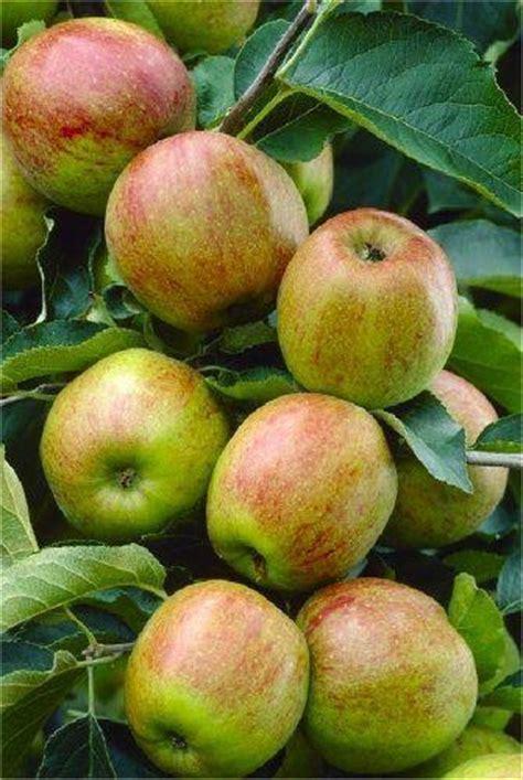 5 fruit tree apple tree multi variety fruit tree apple 5