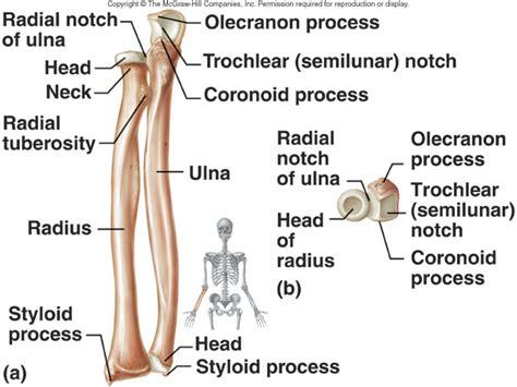 radius and ulna diagram butler coughlin human structure ulna and radius