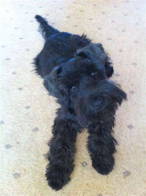 miniature schnauzer puppies black miniature schnauzer puppies ipswich suffolk pets4homes