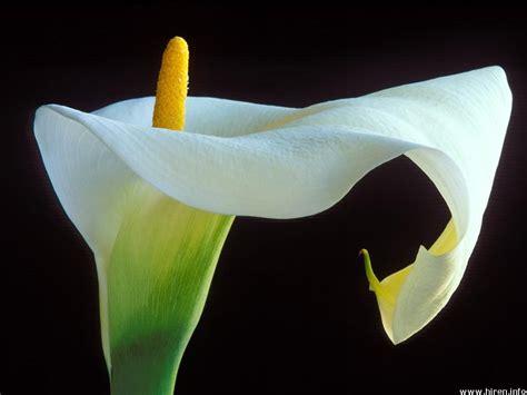 la calla fiore ilclanmariapia la calla