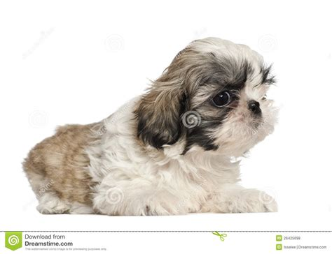 shih tzu 2 months shih tzu puppy 2 months lying royalty free stock photos image 26425698