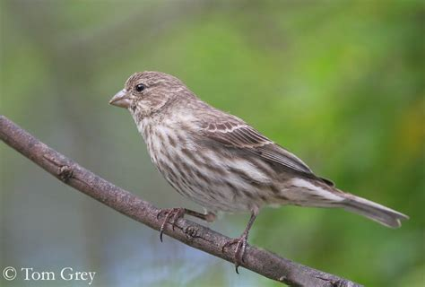 sound of house finch house finch
