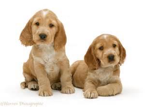 golden cocker spaniel puppies 44 cocker spaniel puppy pictures