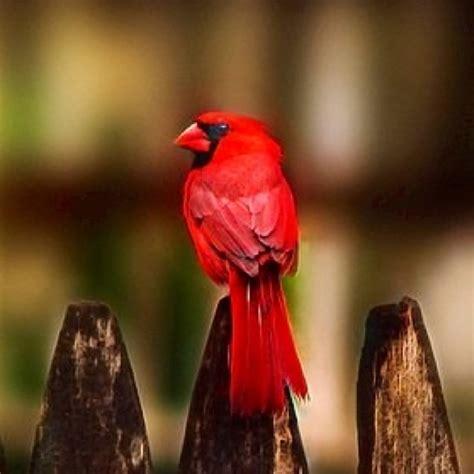 110 best cardinals images on pinterest