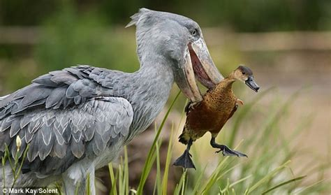 lol funny animals bird duck myupload zoo shoebill