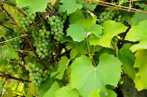 how to grow grapes how to grow stuff