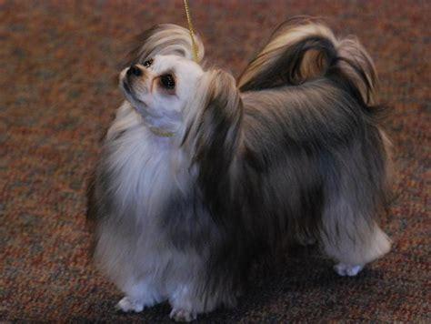 michigan puppies mi ki puppies for sale mi ki breeders continental mi ki association cma