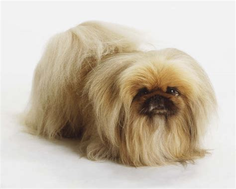 shih tzu pekingese expectancy pekingese a must adorable breed purrs n grrs