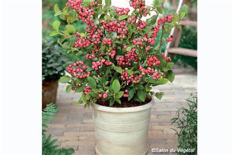 pianta di mirtillo in vaso dalla francia arriva il mirtillo rosa da coltivare sul
