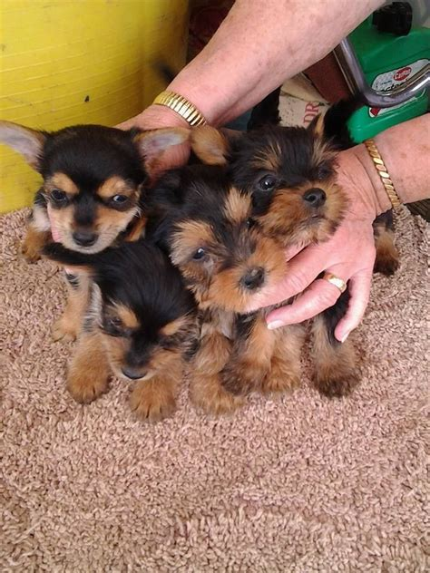 yorkie and chihuahua puppies yorkie cross chihuahua puppies gloucester gloucestershire pets4homes