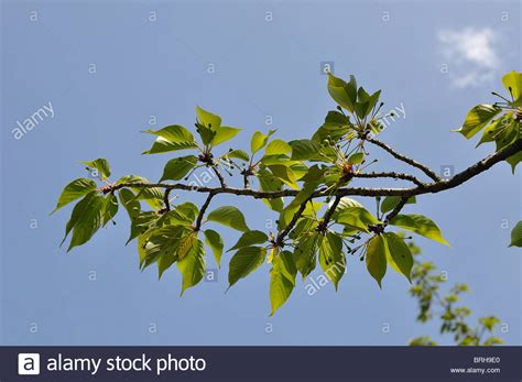 cherry tree unripe branch with green leaves of a cherry blossom tree against blue sky stock photo royalty free