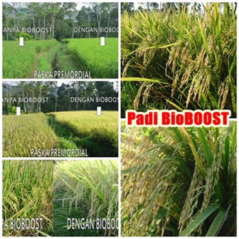 Pupuk Bio Booster aplikasi pemupukan bioboost pada tanaman padi pupuk k