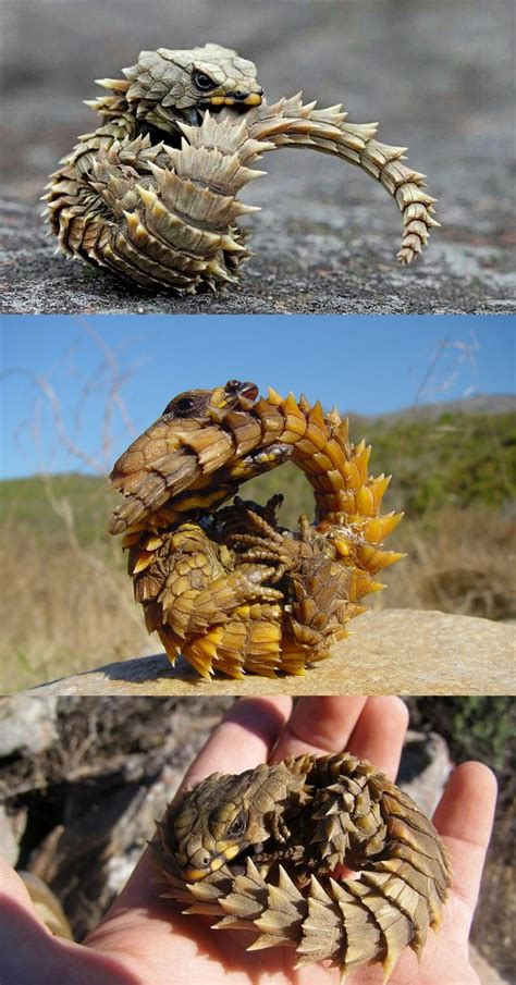 giant girdled lizard sungazer google search cute reptiles armadillo lizard reptiles