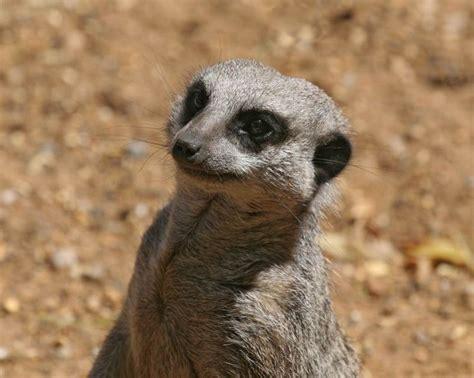 google images animals wild animals google search suricatos pinterest