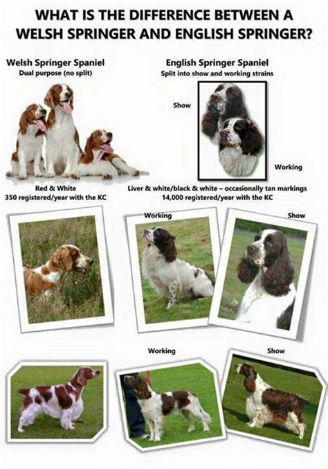 what is the difference between pattern recognition and machine learning welsh springer spaniel vs english springer spaniel