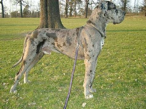 great dane puppies for sale in florida 1000 ideas about great dane for sale on great dane puppies harlequin