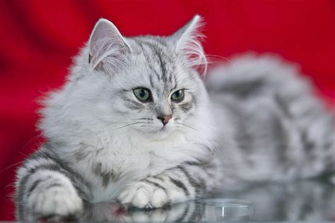 British Longhair Cat Info, Kittens, Temperament, Care