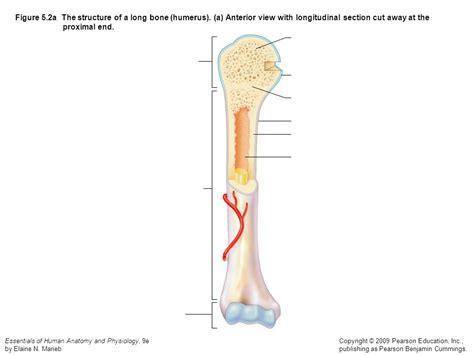 longitudinal section of a long bone spongy bone proximal epiphysis articular cartilage
