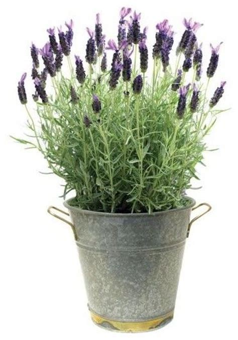 i love to smell herbs near outdoor sitting areas spearmint basil and lavender are among the