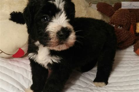 augie puppies for sale auggie soft coated wheaten terrier puppy for sale near springfield missouri