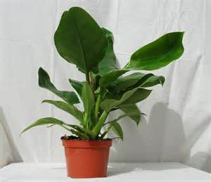 Tropical Foliage Indoor Plants - foothill tropicals inc indoor tropical house plants