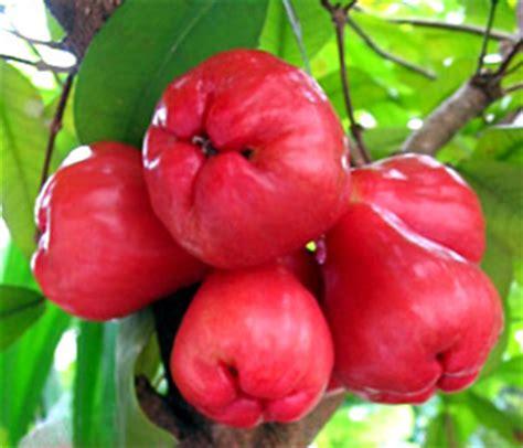 jambu fruit tree jambu erickbestbiomes