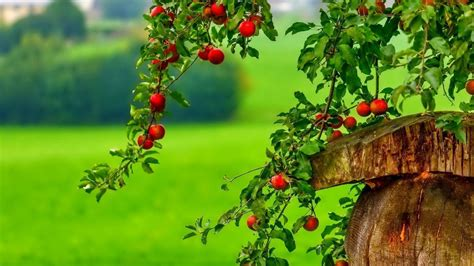 Wallpaper Of Apple Tree | apple tree wallpapers wallpaper cave