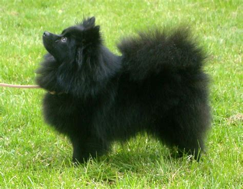 german spitz puppies black german spitz photo and wallpaper beautiful black german spitz pictures