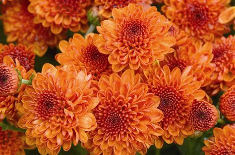 parks brothers fall mums parks brothers greenhouses