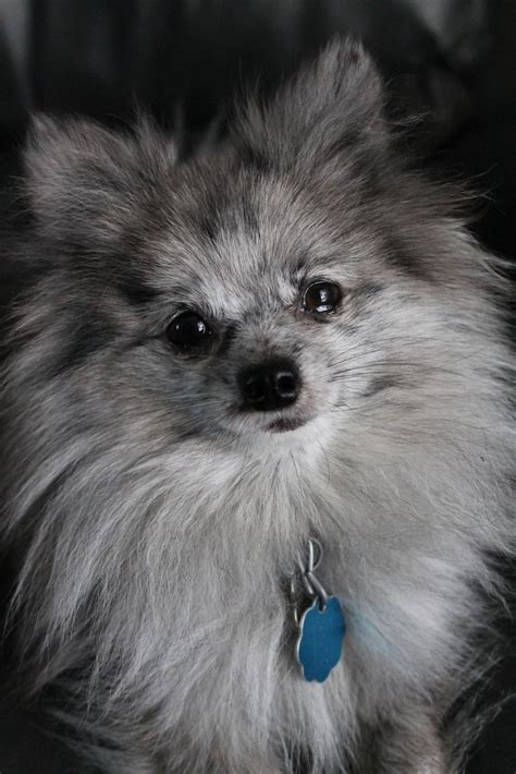 pomeranian rescue pittsburgh 334 best images about pomeranian on pom canvas prints and