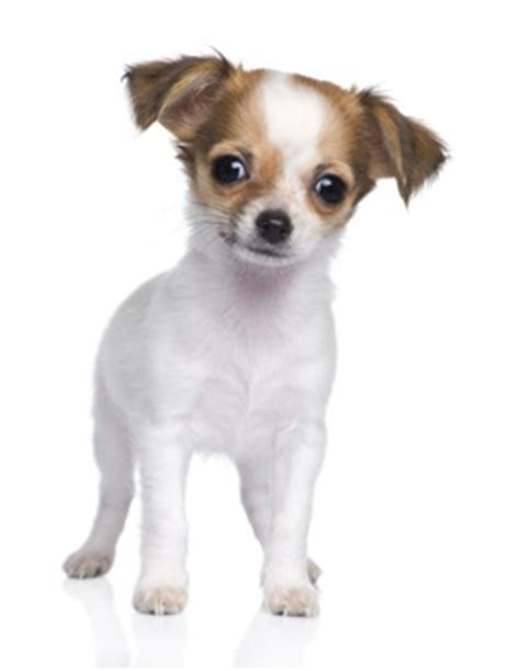 chihuahua puppy names chihuahua puppy names for your tiny amigo