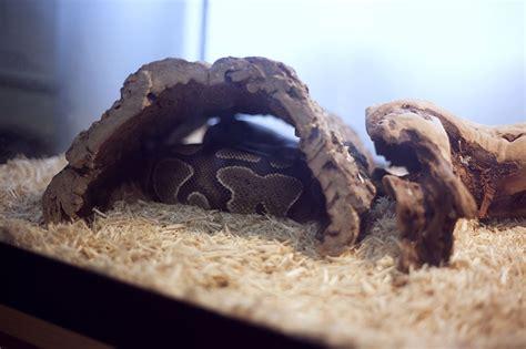 sleep python do ball pythons have to sleep in a hide my pet python
