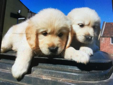 registered golden retriever breeders beautiful kc registered golden retriever puppies alfreton derbyshire pets4homes