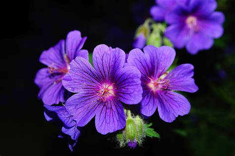 Flower Up purple 5 petaled flower up photography 183 free stock