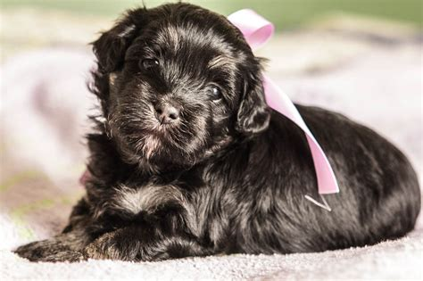 havanese puppies idaho white havanese dogs breeds picture