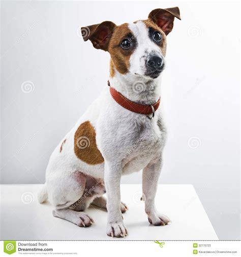 imagenes perros jack russell terrier raza jack russell terrier del perro del muchacho imagen de