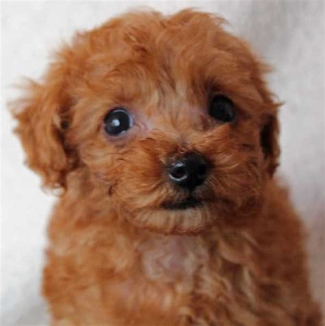 poodle puppies for sale florida puppies for sale in boca raton south florida breeds picture