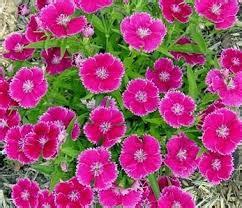Bibit Bunga Dianthus Carpet 50 Butir Benih jual bibit bunga cantik jual bibit bunga murah