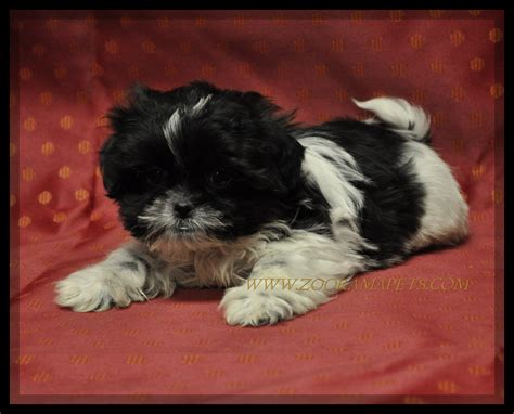 shih tzu for sale ny shih tzu puppies for sale in ny shih tzu maltese