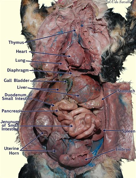 cat anatomy diagram bio202 cat organ systems
