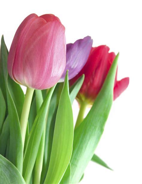 Biji Bunga Peony Biru lovely tulip highway