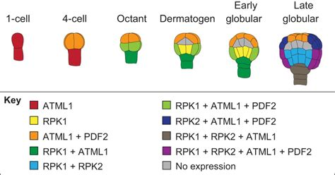 pattern formation in embryogenesis building a plant cell fate specification in the early